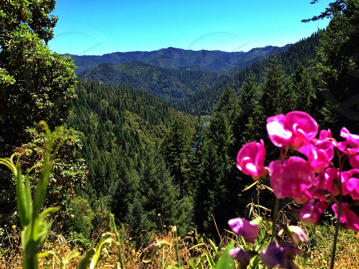 Pink wildflowers overlooking the canyon in the Klamath National Forest  photo