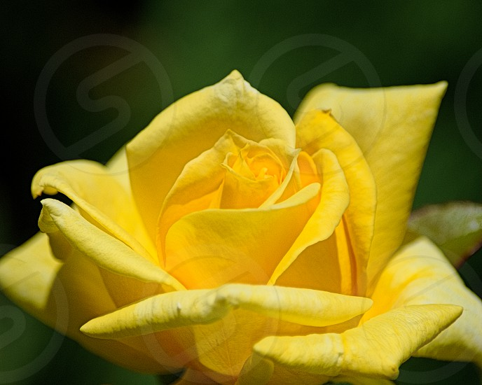 Yellow Rose - Spring Colors Easter Yellow photo