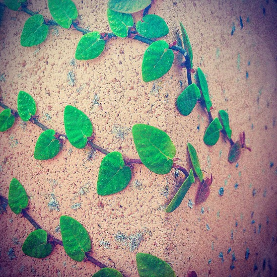 green vine plant on wall photo