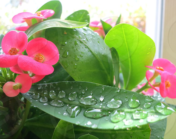 Spring raindrops on pink Crown of Thorns photo