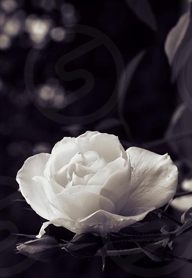 Rose white nature photo