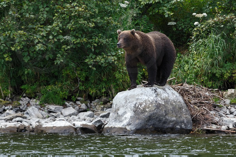 Wildlife of Kamchatka Peninsula: slender Kamchatka brown bear stands on large rock along in natural habitat - on river bank on background of green summer forest. Russian Far East Kamchatka Region. photo