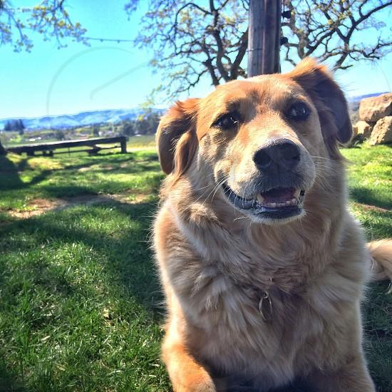 brown dog lying on green fields photo