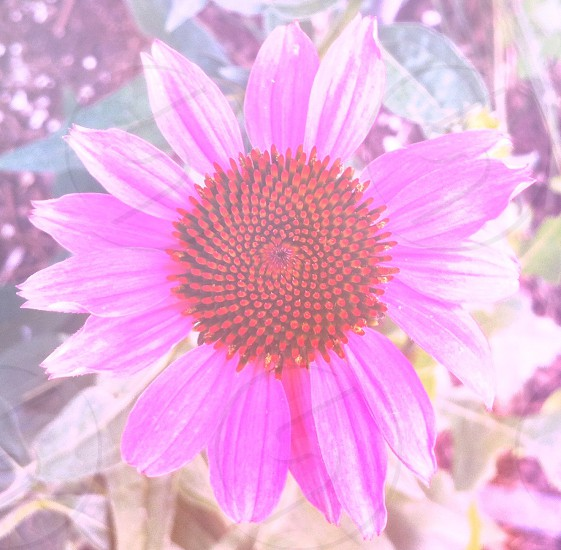 pink daisy photo