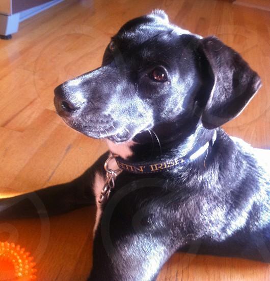black and white short haired dog photo