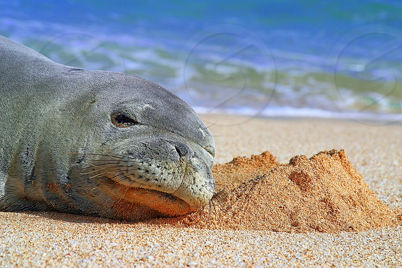 A Walrus soaking up some rays on the beach in Hawaii. photo