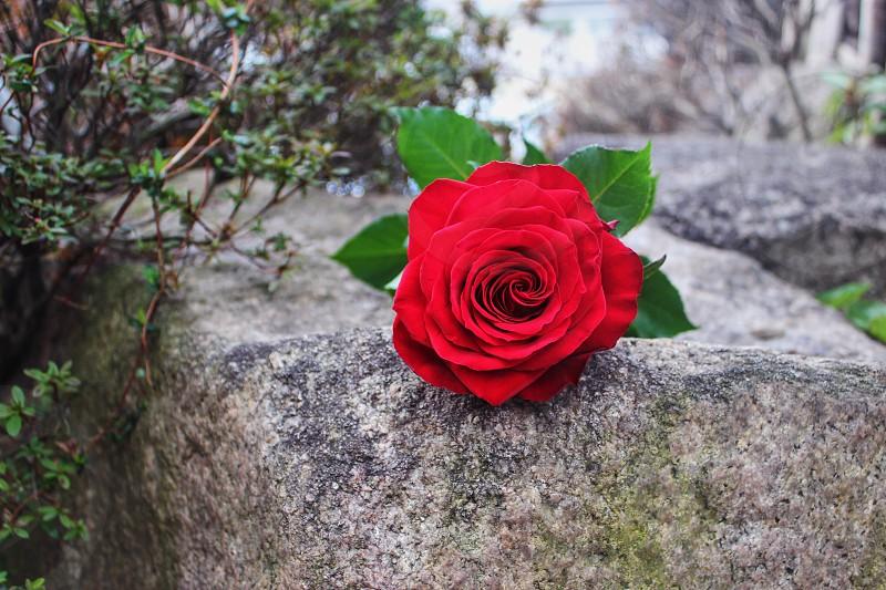 Bachelorette rose red roseCrimson redCrimsonflower photo