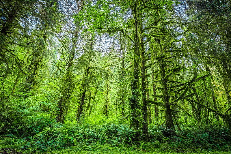 Hoh Rainforest Olympic National Park WA photo
