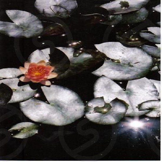 orange water lily photo