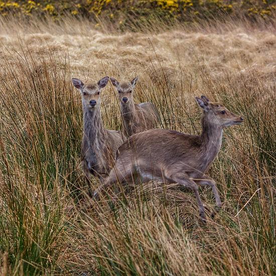 3 brown deer photo