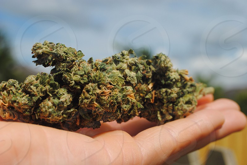 green marijuana leaves on human palm photo