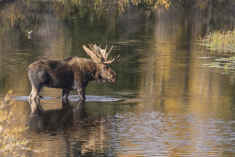 Bull moose wading in the stream. photo