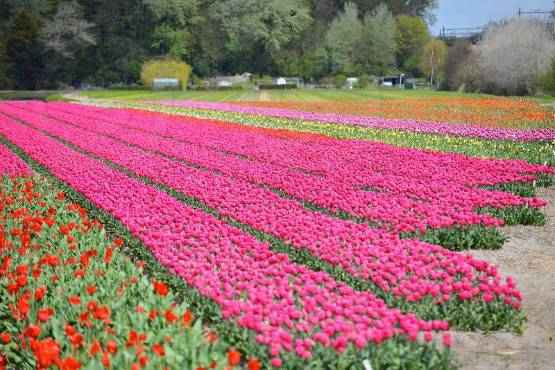 Tulip fields photo
