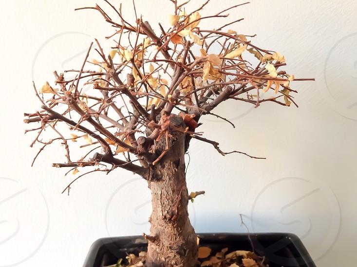 Bonsai Tree Very Fragile  photo