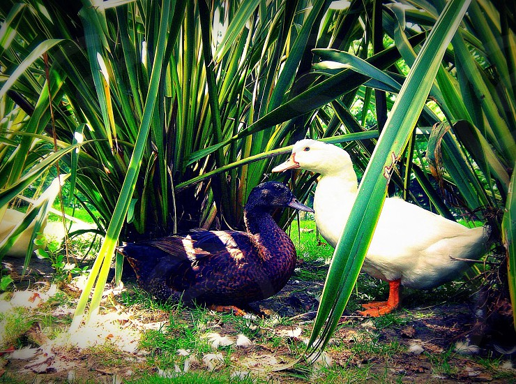 black and white ducks near green linear leafed plant during daytime photo
