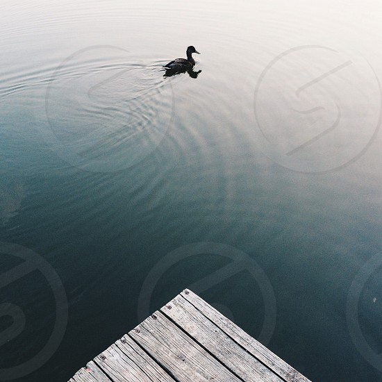 duck in water with wood deck photo