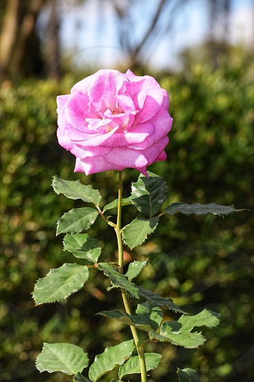 Flower Rose Pink Blossom  photo
