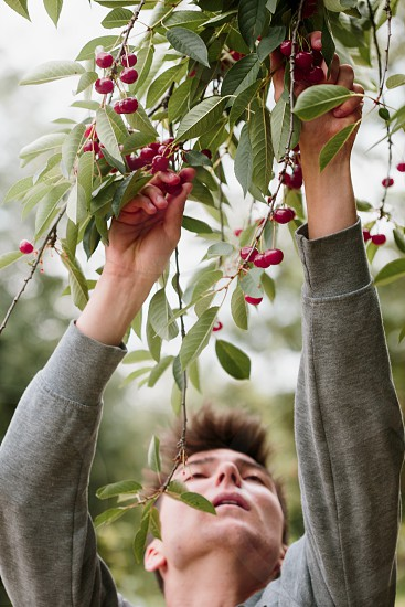 Young man picking cherry berries from tree photo
