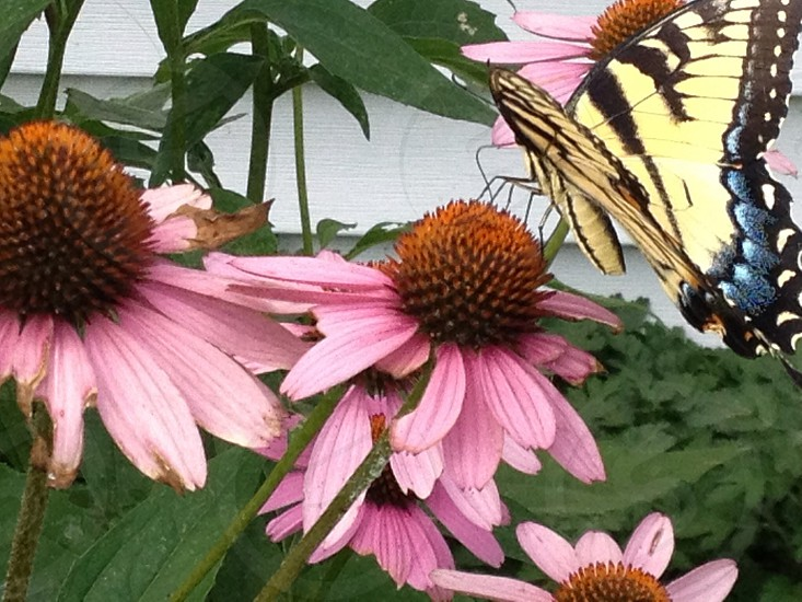 Monarch Butterfly on Cone Flower photo