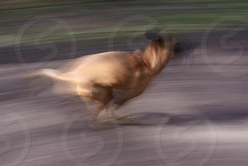 Fast motion blur of a dog running down a path  photo