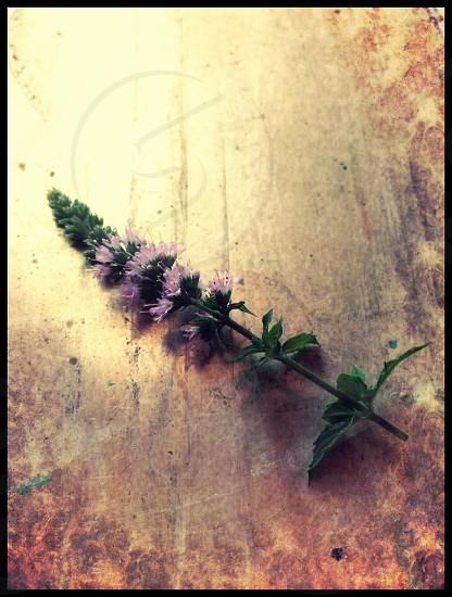 Peppermint seeds herbs flowers lavender garden rustic purple metal soft light platter bronze  photo