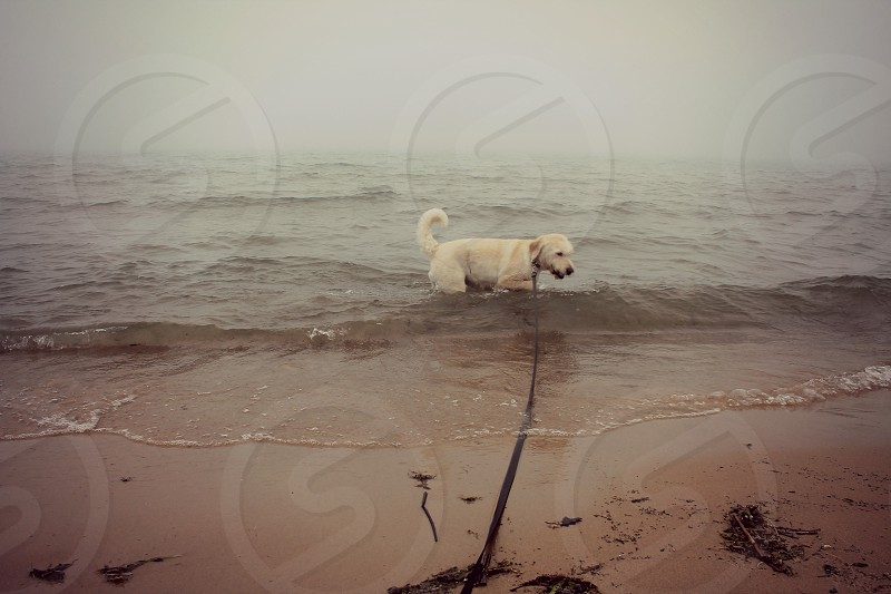 Dog swimming in water on beach in fog after rain during walk on leash. photo