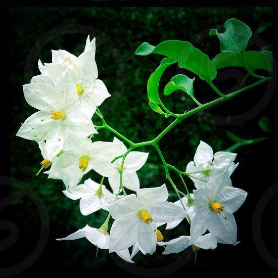 white 5 petaled flower photo