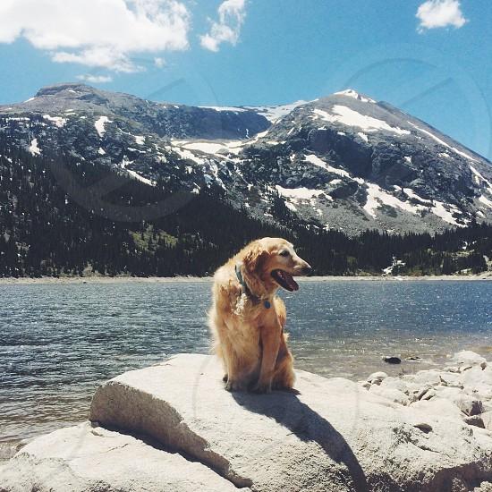 golden retriever on grey rock photo