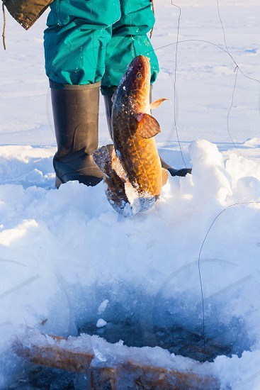 Successful ice-fishing pulling up nice sized Burbot Lota lota from depth of frozen lake photo