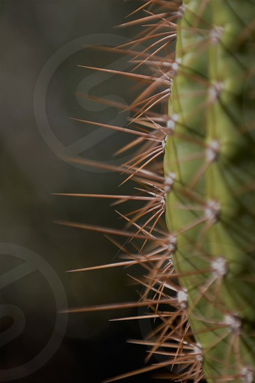 The needles of a saguaro cactus photo