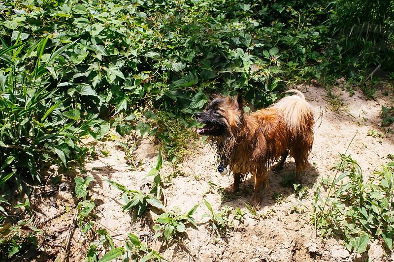 dog spitz kleine wet river beach nature photo