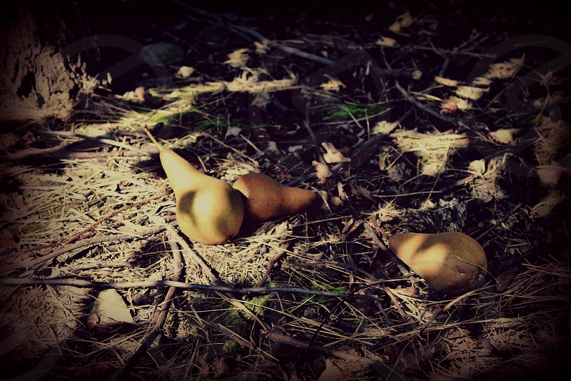 Fallen pears in the shadows of a tree in autumn photo