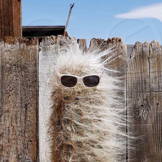 Hipster Cactus with sunglasses on Pioneer Town California  photo
