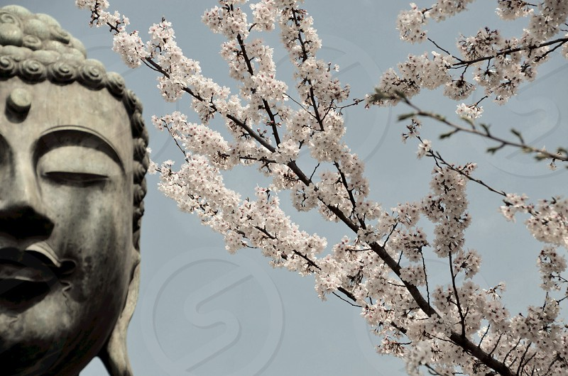 Buddah statue by the white flowering tree photo