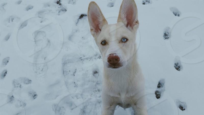 Happy cute puppy blue eyes husky corgi adorable snow outside oklahoma  photo