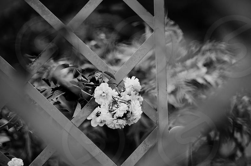 Black and white elegant roses through garden lattice. photo