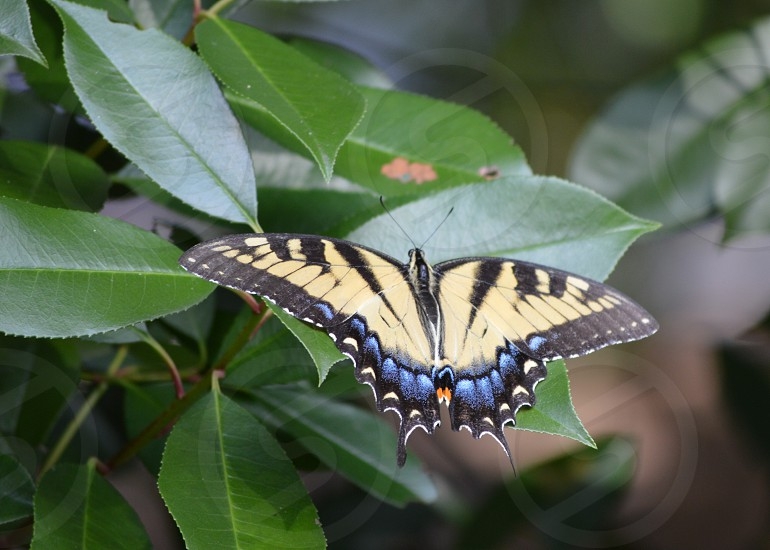 yellow and black swallow tail butterfly photo