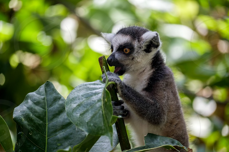 Ring-tailed Lemur (Lemur catta) at the Bioparc in Fuengirola photo