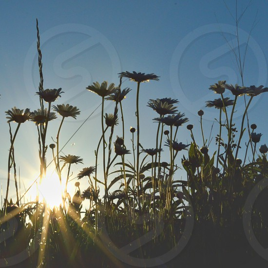 Push the Lil Daisies... photo