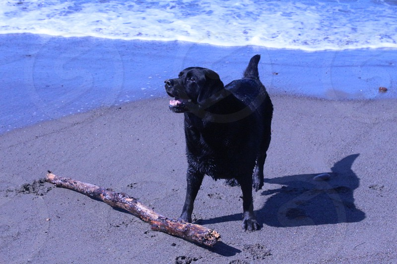 Off Leash Dog day at the Beach Black Labrador Ocean San Simeon photo