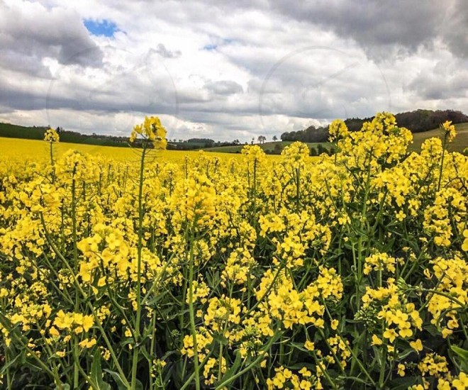 Rapeseed Field in Summer photo