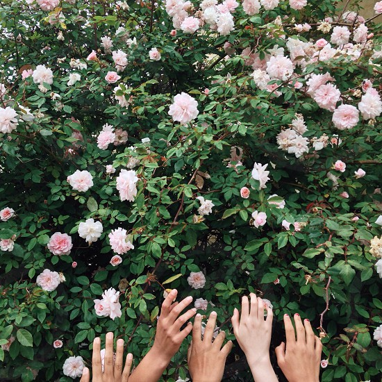 3 people reaching blooming pink roses in garden photo