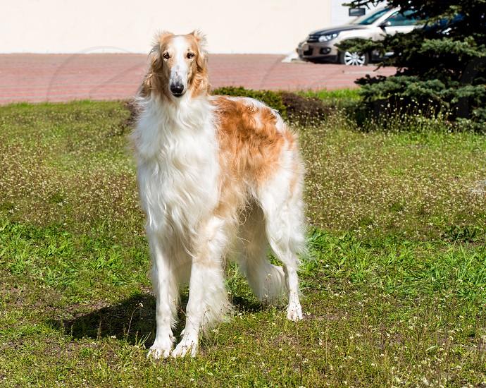 Borzoi Russian full face. The Borzoi Russian dog is on the green grass. photo