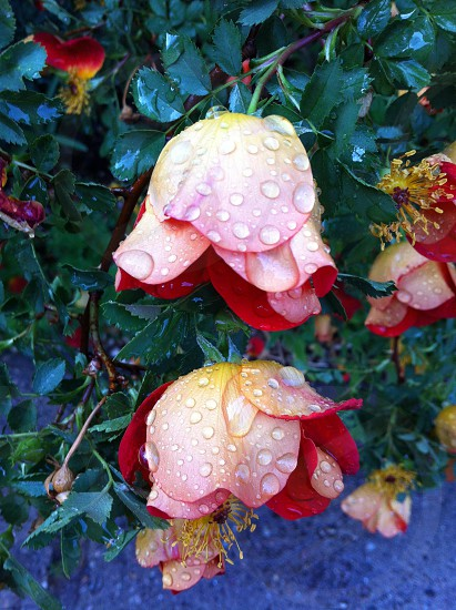 fuchsia flower photo