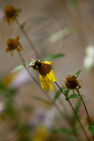 A bumble bee on a yellow California wildflower photo