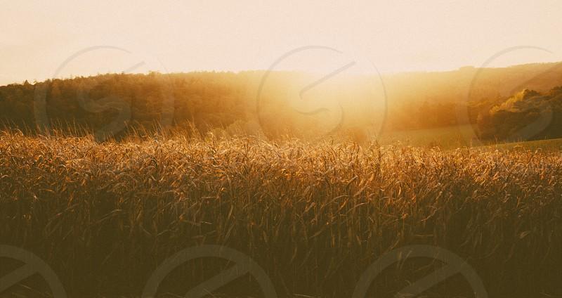 Cotswold Corn photo