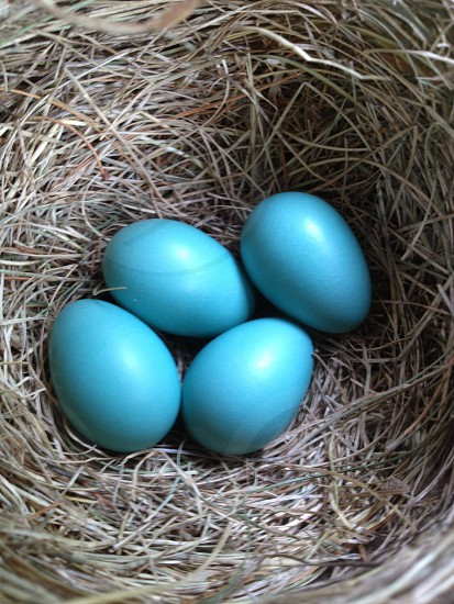Robin eggs photo