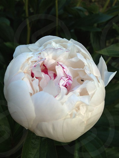 white peony with red trim photo