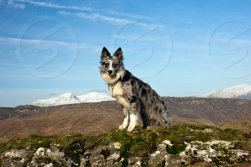 Welsh Collie photo