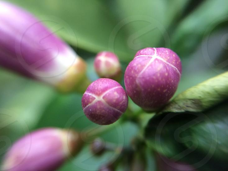 Purple flower buds lemon blooms tree photo